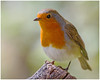Robin (tina777) Tags: robin bird feathers beak wings eyes animal creature forest farm cardiff south wales canon 7d 100400mm photoshop elements