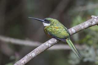 ariramba-de-cauda-ruiva (Galbula ruficauda) Rufous-tailed Jacamar-male