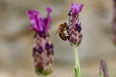 Backbreaking work (AngharadW) Tags: pollen abdomen thorax wing brown grey garden outdoor wall purple bokeh dof lavender frenchlavender pollenswapping flower angharadw