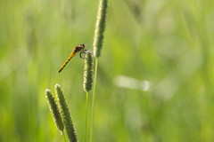 (amy20079) Tags: nikond5100 newengland maine macro insect dragonfly summer bug bokeh field meadow