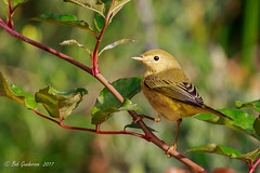 Yellow Warbler [Explored] (Bob Gunderson) Tags: birds california fortmason northerncalifornia sanfrancisco setophagapetechia warblers woodwarblers yellowwarbler