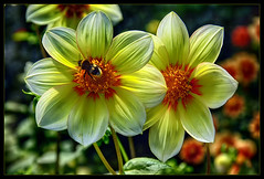 Dahlias in the sun when they then shines once........ (scorpion (13)) Tags: dahlia blossom with bumblebee insect color nature frame creative summer sun my garden photoart plant