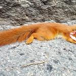 Road kill, squirrel thumbnail