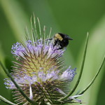 Thistle and bee thumbnail