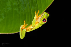 Red-eyed Tree Frog (m_Summers) Tags: jungle night wild wildlife treefrog amphibian frog marksummers nature costarica tropical redeyedtreefrog