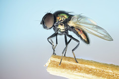 Diptera.Ephydridae (dorolpi) Tags: