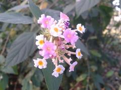 உண்ணிச் செடி Lantana camara (Multi) 5 (Dr.S.Soundarapandian) Tags: tick berry herb indian leprosy measles chavady tamilnadu