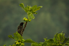 birdwatching - 1 (Giulio Mazzini) Tags: becco bird birdwatching caccia natura nature rondini siena toscana uccelli