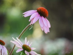 """"""" Which of my photographs is my favorite? The one I'm going to take tomorrow"""".  Imogen Cunningham (NaturewithMar) Tags: coneflower macro bokeh 7dwf friday flora flower garden wisconsin"""
