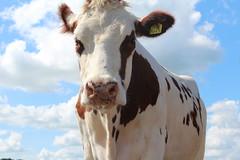 Olympic  pirolo  Fasto (excellentzebu1050) Tags: livestock dairycows cattle closeup cow animalportraits animal farm outdoor c coth5 sunrays5