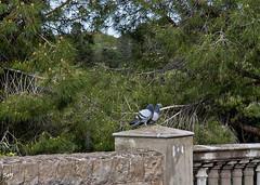 Cosas del amor, Montjuïc. (svet.llum) Tags: barcelona montjuic montjuïc montaña ciudad naturaleza paisaje animal pájaro paloma parque catalunya cataluña