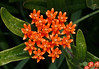 EOS 6D_0035_DxO (willcfritsch) Tags: 20170708 aftonstatepark butterflyweed mn washingtoncounty