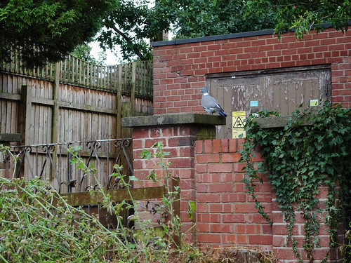 Woodpigeon on Bottom's Lane, 2017 Jul 22 -- photo 1