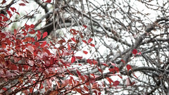 Red Leaves (Theen ...) Tags: royaltasmanianbotanicalgardens bare branches bright bush foliage hobart leaves lumix red sky theen tree winter