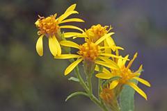 Solidago virgaurea (Asteraceae) 237 17 (ab.130722jvkz) Tags: asteraceae solidago