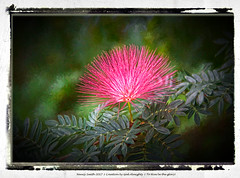 Powder Puff tree (NancySmith133) Tags: powderpufftree godsgarden backyardgardens floweringtrees centralfloridausa