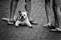 Feet Guard (Alfred Grupstra) Tags: dog pets blackandwhite animal purebreddog canine bulldog puppy people cute friendship domesticanimals men sitting