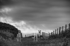 There Be Rabbits! (Shastajak) Tags: monochrome blackandwhite stanley deerhoundcross threelegged tripaw lurcher bullterrier crossbreed sql pronouncedsequel greyhound sighthound gazehound dog rehomed rescued fencefriday fence clouds