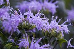 SLT04938 (rudenoon) Tags: sony slta99 sal135f18z garden flowers bergamot interlochen michigan usa