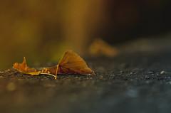 La fine dell'estate (Mattia Pianca) Tags: nikon d7000 85mm nikon85mm18g nikkor85mm18g 85mm18g nikkor85mm bokeh foglie leaves autumn autunno macro color colors