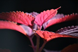 Coleus aglow! Edges, ruffles and brilliant color