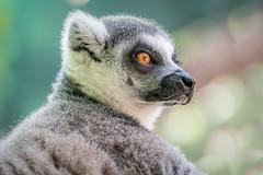 Handsome Little Fellow (helenehoffman) Tags: wildlife prosimian primate sandiegozoosafaripark mammal lemurcatta animal ringtailedlemurs madagascar nature conservationstatusendangered coth coth5