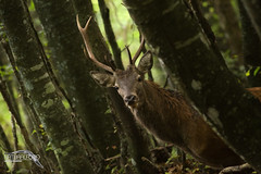 Cervo Juv - caccia vagante