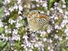 A artaxerces Le crouzet 2017 07 18 (Froggy Birder) Tags: lecrouzetjuillet2017 papillon rhopalocères butterfly lecrouzet cévennes ariciaartaxerxes argusdelhélianthème