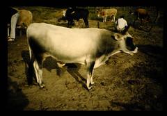 Durvey For Animal Genetic Resources In Aflica = アフリカの家畜資源調査