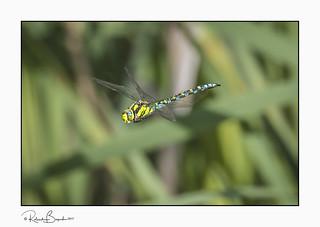 Southern hawker dragonfly flying (Aeshna cyanea) 2