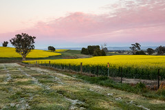 Canola sunrise (Rod Burgess) Tags: sunrise canola cowra nsw australia canon1635f4l canoneos5dmarkiv clouds pink yellow frost