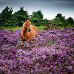 Pony Tale... (Solent Poster) Tags: new forest pony heather pentax k1 2470mm august 2017 landscape horse