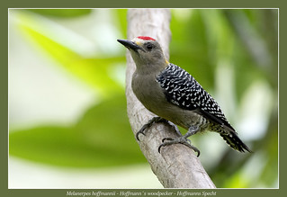 Hoffmann´s woodpecker