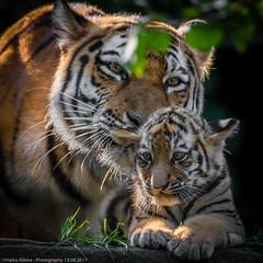 Sibirische Tiger (Panthera tigris altaica) (H.Roebke) Tags: portrait cup tiger nature germany tier tigerbaby natur animal katze 2017 tierportrait hagenbeck maruschka tierpark zoo grosskatze de cats deutschland