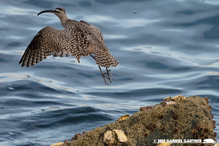 Whimbrel: Los Angeles County