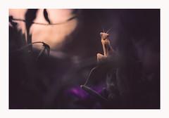 Puit de lumière (Futoigokiburi) Tags: insect mantereligieuse naturallight nature prayingmantis