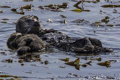 Protective Mother (punahou77) Tags: sea seaotter morrobay morrorock water wildlife reflection roadtrip kelp california stevejordan punahou77 nature nikond500 tamron150600mmlens tamron tamron150mm600mmlens