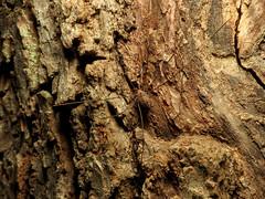Harvestman (treegrow) Tags: greenbeltpark lifeonearth nature canonpowershotsx40hs raynoxdcr250 arthropoda arachnida opiliones