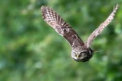 Little Owl in flight (robin denton) Tags: owl littleowl bird nature wildlife uk yorkshire athenenoctua owlet pair birds birdphotography wildlifephotography