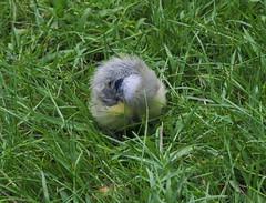 Blaumeise - Parus caeruleus (Sam.24) Tags: meise vogel jungvogel junges jungtier