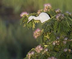 juvenile Little Blue Heron in Mimosa tree (Mawrter) Tags: littleblueheron heron lbhe mimosa tree white pink avian nature wild wildlife rookery oceancity nj newjersey canon bird birding perch specanimal