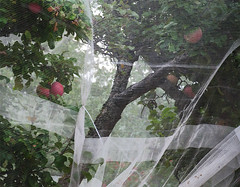 apple tree, tented :: 2 (dotintime) Tags: apple fruit tree ripe tent protect fold pleat branch limb dotintime meganlane