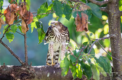 Immature Red Shouldered Hawk (Christine Swanzy - (On and off for a while :)) Tags: immatureredshoulderedhawk birdsofprey eatingitskill hawk midwest