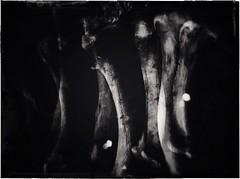 Bone Garden-11429 (Poetic Medium) Tags: stilllife blackandwhite kitcamghostbird snapseed multipleexposure ipod bones