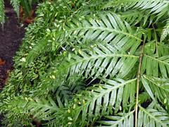 Woodwardia orientalis Sw. 1801 (BLECHNACEAE) (helicongus) Tags: woodwardiaorientalis woodwardia blechnaceae jardínbotánicodeiturraran spain