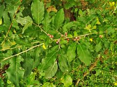 Autumn Olive Elaeagnus umbellata (With Fruit) (Super Nature Lover) Tags: invasive nonnative mbpready