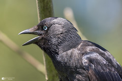 Shut your mouth (technodean2000) Tags: black bird shut your mouth nikon d810 lightroom uk