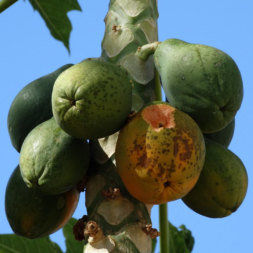 carica papaya thesis Carica papaya, endophytic bacteria, microbial contamination, micropropagation, plant growth promoting bacteria.