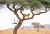 DSC_7086 (stacyjohnmack) Tags: africa kenya lion lioness safari serengeti serengetinatinalpark serengetinationalpark tanzania treeclimbing