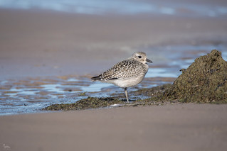 Black Bellied Plover (juv)